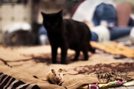Hamster and cat on in the bed, hunting, chase