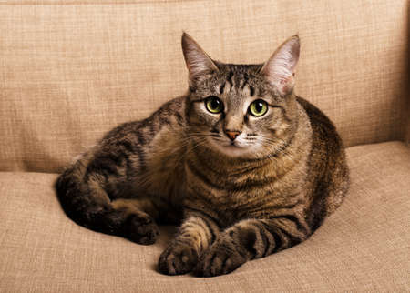 Portrait of green-eyed funky cat on a brown armchair Stock Photo