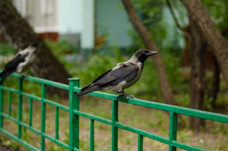 Young crow in fence is on the street