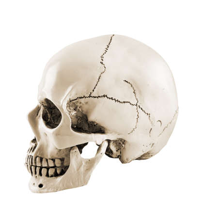 Side profile view of human skull isolated on a white background Stock Photo - 133780220
