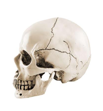 Vue de profil de côté du crâne humain isolé sur fond blanc