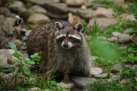 Cute curious raccoon at green forest on the zoo