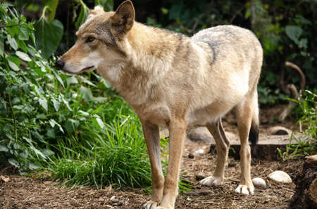 Wolves at the zoo and visitors at the aviary. Wolf posing on the rock. In public zoo Stock Photo