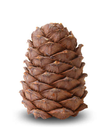 Cedar cone isolated on white background Stok Fotoğraf