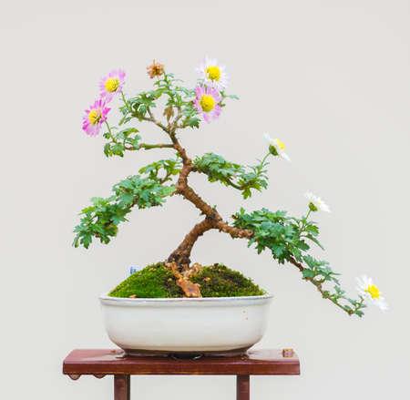Traditional Japanese Chrysanthemum Bonsai in Autumn 免版税图像