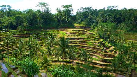 padi: Padi field in mountain