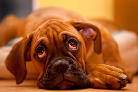 boxer dog: German Boxer - sad dog