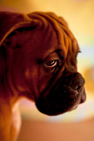 perro triste: Boxer alem�n - perro triste