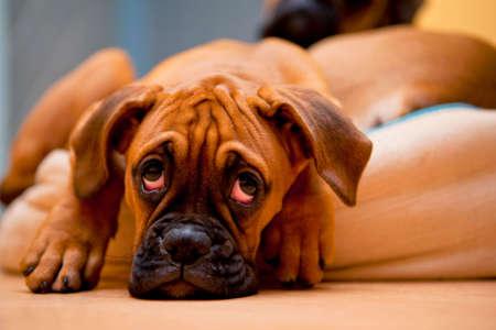 perro triste: Boxeador alem�n - perro triste