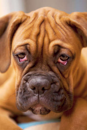 German Boxer - sad, lonely dog with hangover  Stock Photo