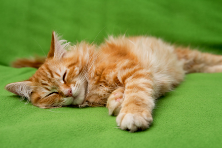 young ginger stripped siberian cat sleeping on green blanket