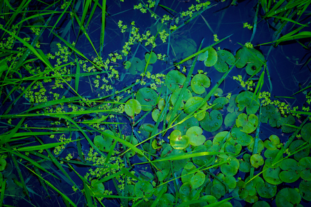 water plants on the surface of a river - green on dark water
