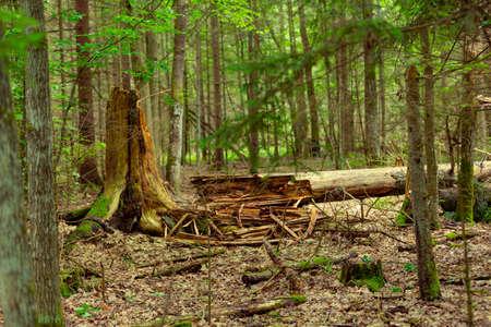 old fallen dead and rotten tree in the Bialowieza Forest (Puszcza Białowieska)