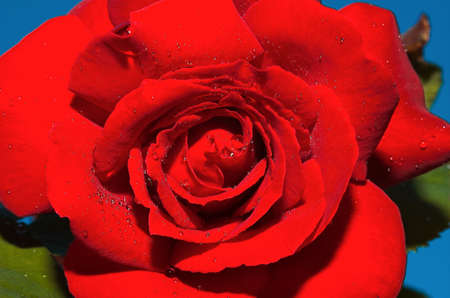 amore: Red rose Stock Photo