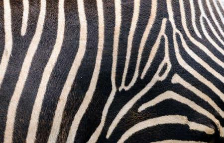 Zebra skin photo
