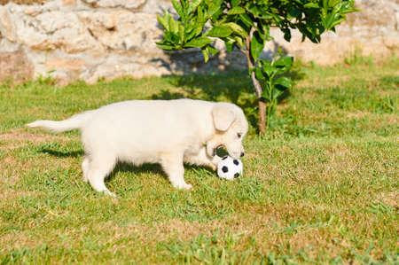 animalitos tiernos: Peque�o golden retriever jugando con una pelota Foto de archivo
