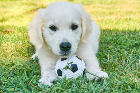 golden ball: Small golden retriever playing with a ball Stock Photo
