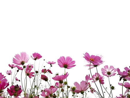 Pink Cosmos flowers, close-up