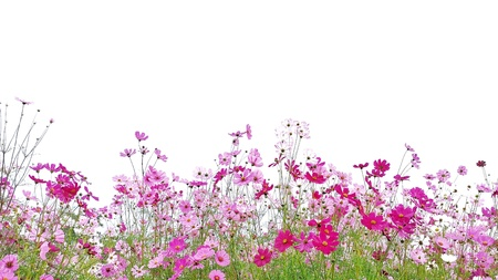 Pink and Red Cosmos flowers are blooming and green stalk isolated on white background.