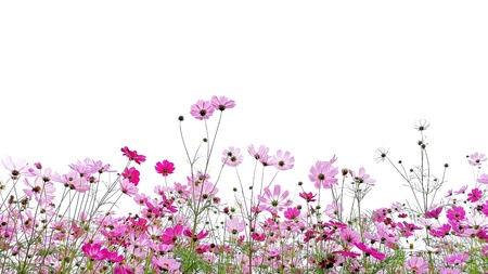 Pink and Red Cosmos flowers. 版權商用圖片
