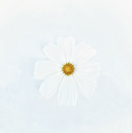 White cosmos flower isolated on white background. 版權商用圖片