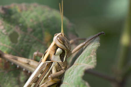 growers: Grasshopper are plant eating insects and they are classified as serious pest and threat to food crop growers  Grasshoppers  Up close with different types and stages of grasshoppers