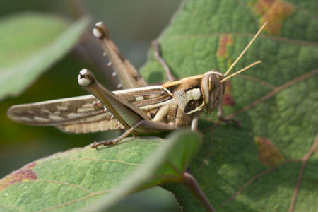 Grasshopper are plant eating insects and they are classified as serious pest and threat to food crop growers  Grasshoppers  Up close with different types and stages of grasshoppers