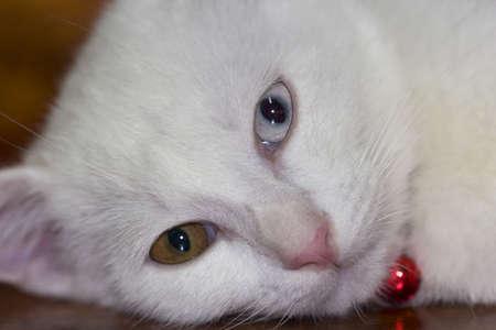 whiskar: white cat