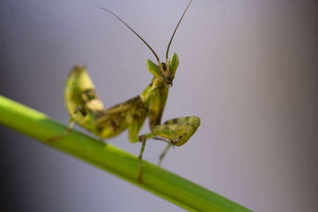 european mantis: Female European Mantis or Praying Mantis, Mantis religiosa, on leaf