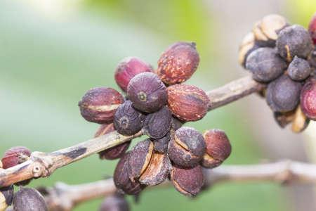 bean plant: Coffee bean plant leaf old dry