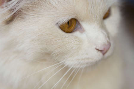 face close up: Close up face cute white Persian cat Stock Photo