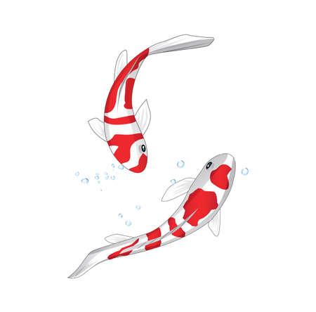 Two koi fish, Fancy Carp, on a White bakground