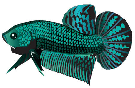 Siamese fighting fish 向量圖像