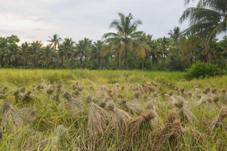 Rice harvest in Surat Thani,south of Thailand
