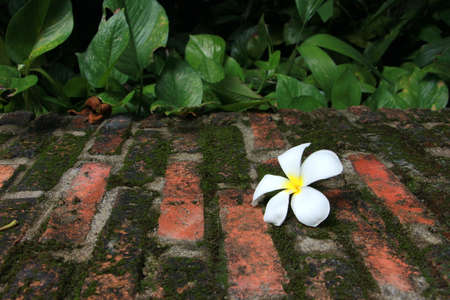 redbrick: frangipani flower drop on red-brick