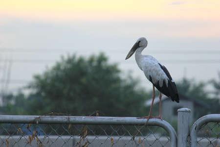 openbill: asian openbill bird