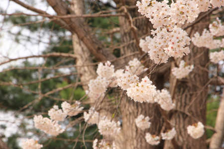 Spring cherry blossom on the tree Imagens