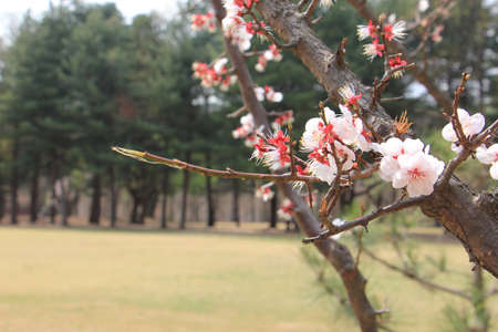 Spring cherry blossom on green field Imagens