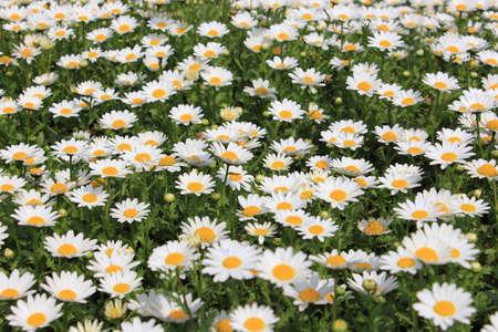 White daisy flower in meadow Imagens