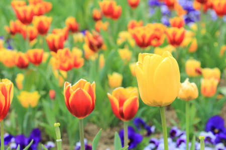 Colorful tulip flower and green leaf background in the garden Imagens