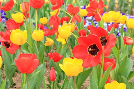 Tulip flower in full bloom in the garden Imagens