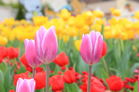 Pink tulip in red and yellow tulip background