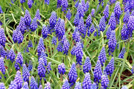 Beautiful blue muscari flower, heavenly blue grape hyacinths in the garden