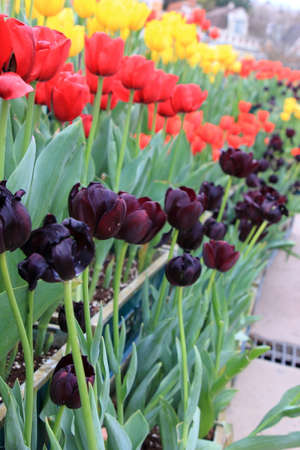 Row of red, purple and yellow tulip flower