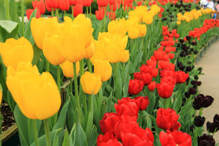 Row of red and yellow tulip flower