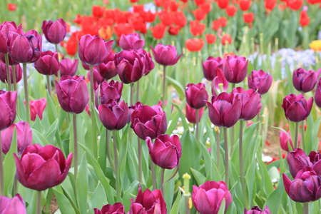 Purple tulip field and blurred red tulip background