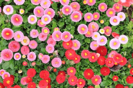 Beautiful bellis perennis pomponette flower in the garden Imagens
