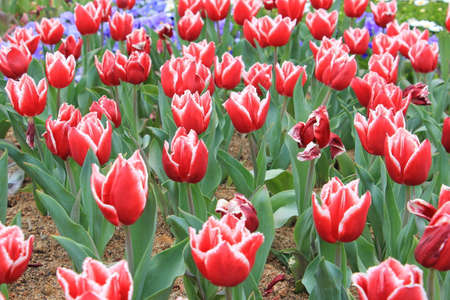 Colorful red & white tulip flower in the garden