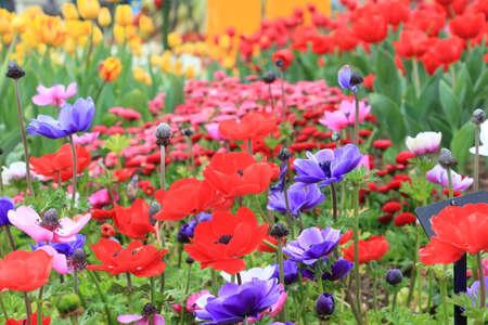 Poppy anemone flower(Anemone Coronaria) Imagens