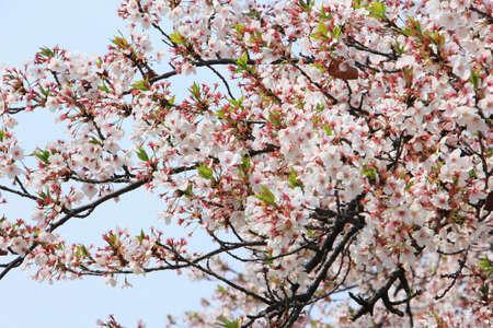 Cherry blossom flower(sakura) tree and sky background Imagens